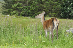 Cerfs communs rouges Photos libres de droits