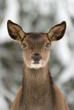 Cerfs communs rouges Image stock