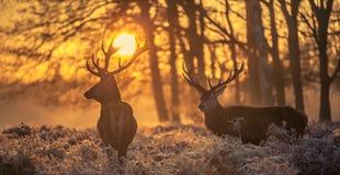 Cerfs communs rouges