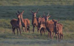 Cerfs communs rouges Photographie stock