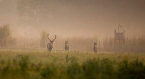 Cerfs communs rouges après des hinds images stock