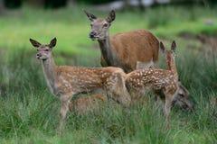 Cerfs communs rouges avec des calfs Images libres de droits