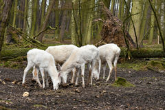 Cerfs communs rouges blancs ou hinds blancs Photographie stock libre de droits