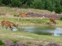 Cerfs communs rouges buvant de l'étang Images libres de droits