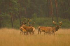 Cerfs communs rouges dans la lumière d'or Image stock