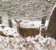 Cerfs communs rouges dans la neige Photo stock
