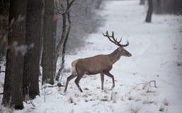 Cerfs communs rouges dans la neige Photographie stock libre de droits