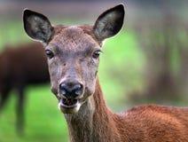 Cerfs communs rouges de derrière Photographie stock libre de droits