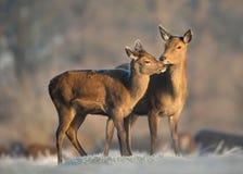 Cerfs communs rouges de derrière avec un veau en hiver Photographie stock