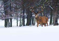 Cerfs communs rouges de mâle adulte dans la neige, Sherwood Forest, Nottingham Photo stock
