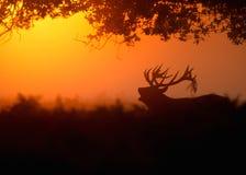 Cerfs communs rouges (elaphus de Cervus) à l'aube photos stock