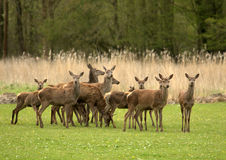 Cerfs communs rouges - elaphus de Cervus. (1) Photos libres de droits