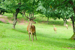 Cerfs communs rouges (elaphus de Cervus) Photo stock