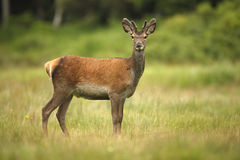 Cerfs communs rouges, elaphus de Cervus Photographie stock libre de droits