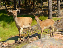 Cerfs communs rouges (elaphus de Cervus) image stock