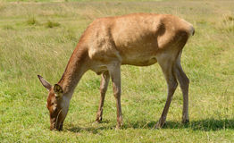 Cerfs communs rouges (elaphus de Cervus) images stock