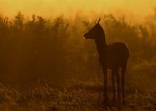Cerfs communs rouges (elaphus de Cervus) image stock