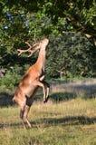 Cerfs communs rouges, elaphus de cervus Photos stock