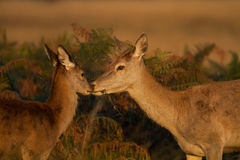 Cerfs communs rouges (elaphus de Cervus) avec un veau Photos stock