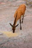 Cerfs communs rouges (elaphus de Cervus) dans la forêt Images stock