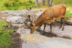 Cerfs communs rouges (elaphus de Cervus) dans la forêt Images libres de droits