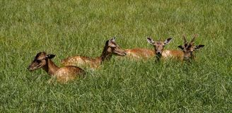 Cerfs communs rouges, elaphus de Cervus en parc naturel allemand photos stock