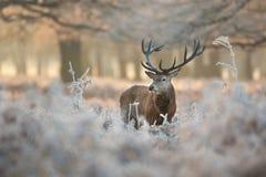 Cerfs communs rouges en hiver photographie stock libre de droits
