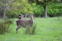 Cerfs communs rouges en parc national de Killarney, Irlande Photo stock