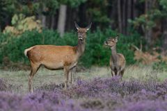 Cerfs communs rouges femelles images stock
