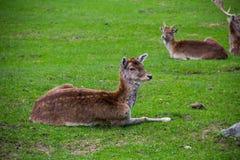 Cerfs communs rouges femelles Image stock