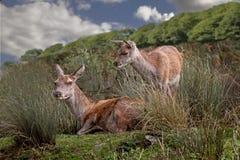 Cerfs communs rouges femelles Photographie stock libre de droits