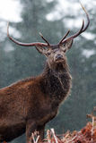 Cerfs communs rouges - gorge Etive Photo libre de droits