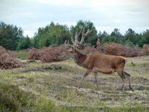 Cerfs communs rouges marchant à travers une bruyère Images stock