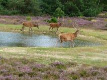 Cerfs communs rouges marchant le long d'un étang Photographie stock libre de droits