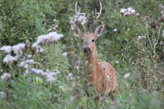 Cerfs communs rouges photo libre de droits