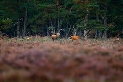 Cerfs communs rouges, rut, Hoge Veluwe, Pays-Bas Le mâle de cerfs communs, beuglent l'animal adulte puissant majestueux en dehors image libre de droits