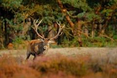 Cerfs communs rouges, rut, Pays-Bas Le mâle de cerfs communs, beuglent l'animal adulte puissant majestueux en dehors du bois, gra photos stock