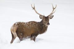 Cerfs communs rouges se tenant dans la neige Image libre de droits
