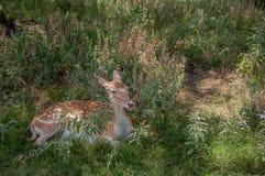 Cerfs communs s'étendant dans l'herbe Photographie stock libre de droits