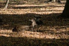 Cerfs communs s'étendant et se reposant en parc photographie stock