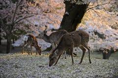 Cerfs communs sacrés de Japonais pendant la saison de fleur de cerise photos libres de droits