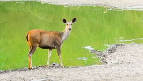cerfs communs sambhar Photographie stock
