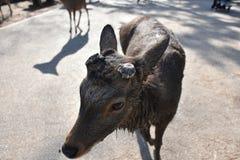 Cerfs communs sans klaxon à Nara, Japon Photographie stock