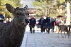 Cerfs communs sans klaxon à Nara, Japon images stock