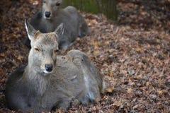 Cerfs communs sans klaxon à Nara, Japon Image libre de droits