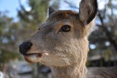 Cerfs communs sans klaxon à Nara, Japon Image stock