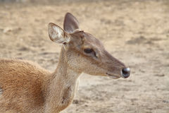 Cerfs communs sauvages Photos libres de droits
