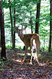 Cerfs communs sauvages Image stock