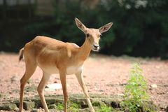 Cerfs communs sauvages Photo libre de droits