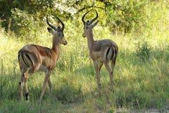 Cerfs communs sauvages Images libres de droits